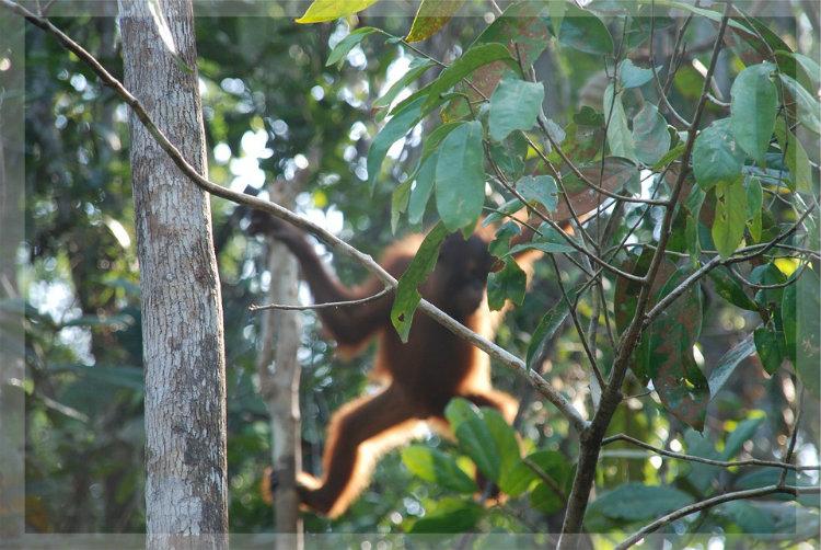 Orang-Utan Klimawandel Regenwald