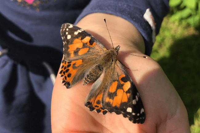 Schmetterlinge züchten